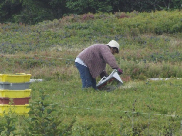Rows marked with string designate areas where wild blueberries are raked by hand. Rakers are paid by the box.