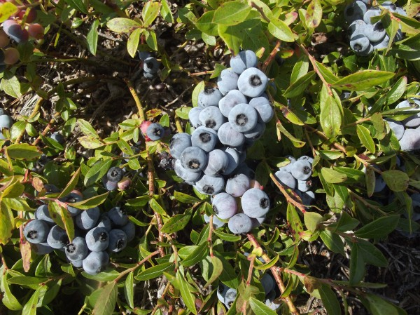Maine's wild blueberry harvest averages about 86 million pounds per year. It was 87.9 million pounds in 2013, down slightly from 91.2 million in 2012, according to figures recently released by the U.S. Department of Agriculture. Prices averaged 97 cents per pound for total revenue of about $85 million compared to 75 cents per pound in 2012 and revenue of $69 million.