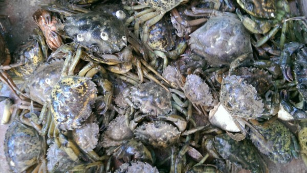 Invasive European green crabs, which have devoured shellfish flats in Casco Bay and other areas along the coast for the past couple of years, have appeared later and in fewer numbers so far in 2014, but researchers warn their numbers could continue to increase as the water warms.