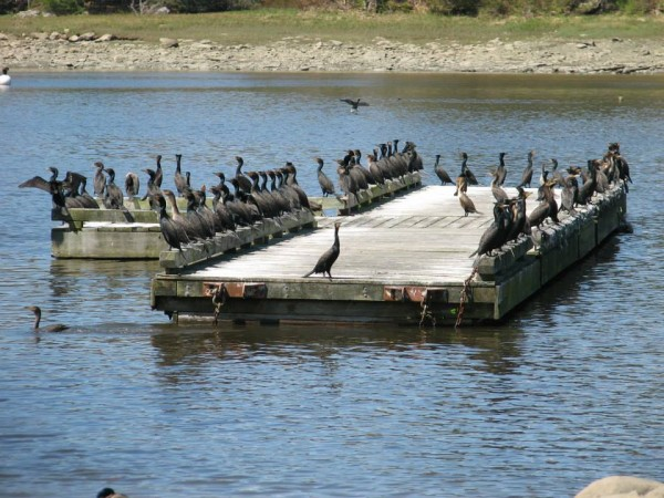 Great cormorants line the edges of a float moored in the Union River in downtown Ellsworth in this May 2013 file photo.