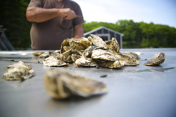 Jesse Leach pours several oysters onto a table at his aquaculture facility on the Bagaduce River.