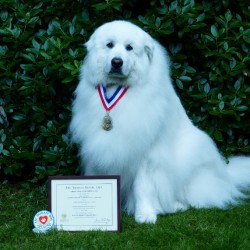 Distinguished Therapy Dog - Cirra, Glimmer's Spirit of Acadia