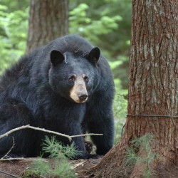 Wayne man captures bear images on trail cam