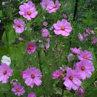 Pick of the plants: New annuals attract gardener's eye