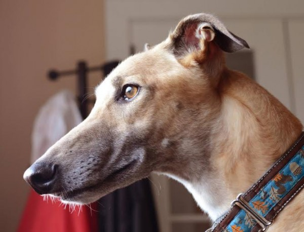 Greyhound Buddy was adopted by recently by Debra Bell. Buddy is the second greyhound Bell and her husband have adopted through Maine Greyhound Placement Service in Augusta which has as its mission finding loving homes for greyhounds.