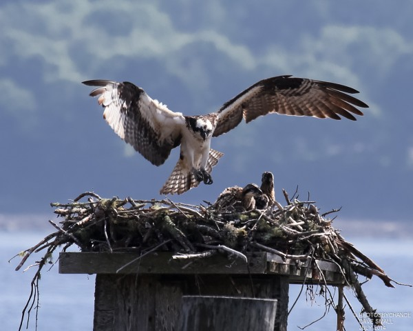 Osprey mom stops by the nest.
