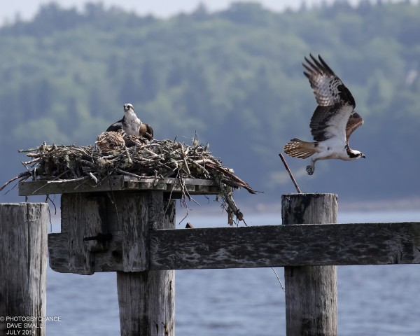 Osprey meal delivered.
