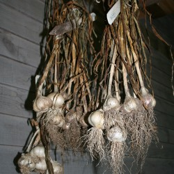 Garlic hangs from a porch rafter to cure.