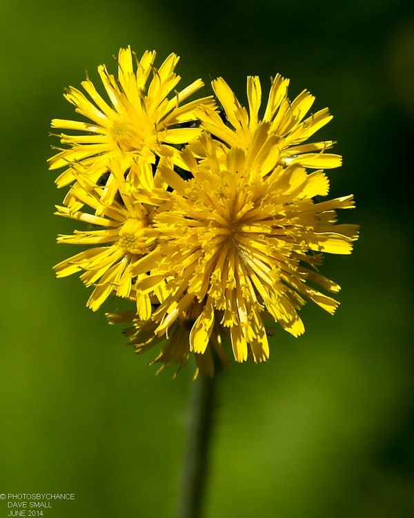 Yellow hawkweed.