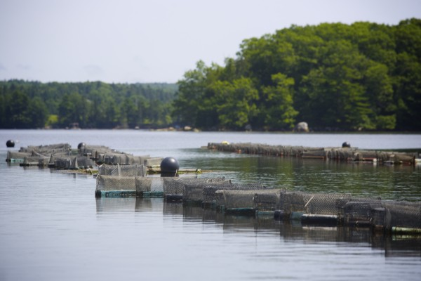 Oyster growing cages line the Bagaduce River in Penobscot, Maine.