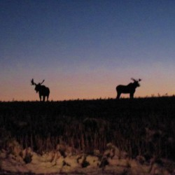 First phase of Maine moose hunt ends