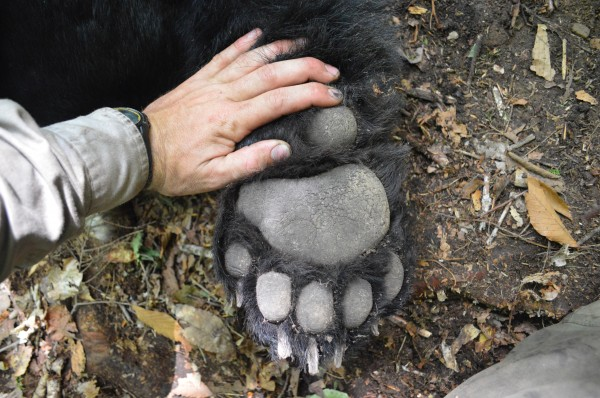 A member of the Maine Department of Inland Fisheries and Wildlife's bear study crew holds a hand near the paw of &quotBig John,&quot a 432-pound black bear that was snared and weighed on June 17, 2014.