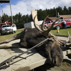 A 975-pound moose shot by Bill Carlin of Lebanon, Maine, lies on a trailer in the Gateway Variety parking lot in Ashland, Maine, during the first day of the 2014 moose hunt.