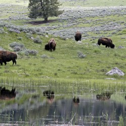 Yellowstone buffalo roam, are shot by officials