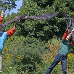 Orphaned Bangor eagles learning to fly, could be released soon