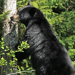 Maine communities could become more dangerous without bear baiting, hounding, trapping