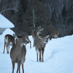 Feeding deer can be dangerous to their health