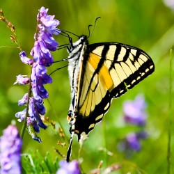 Canadian tiger swallowtail.