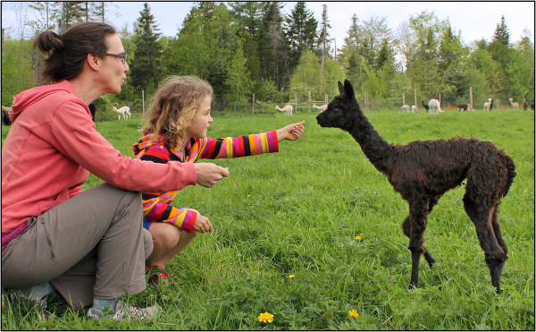 Amanda Jamison and daughter Hazel meet one of the youngsters at Bag End Suri Alpacas in Pittsfield, one of the optional farm stops available in Sebasticook Regional Land Trust's Farm & Habitat Tour on Sept. 13.