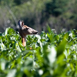 White-tailed deer in the corn.