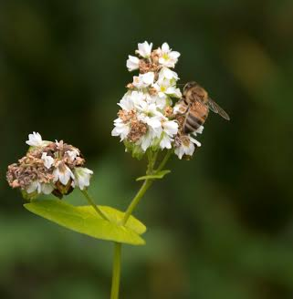 Honey bee on buckwheat.