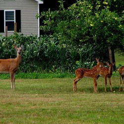 MDIFW: Maine deer test negative for incurable disease