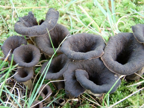 Image result for black trumpet mushrooms in maine