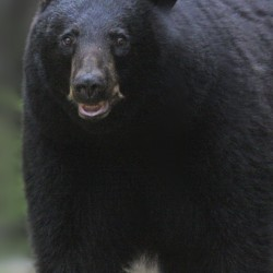 Bears are gentle, elusive. Claims that they'll attack Mainers are unsupported