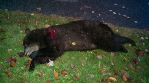 Adam Stanley of Medway shot this bear, estimated at about 200 pounds, after it visited his home twice on Monday.