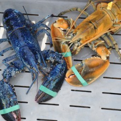 Maine father-daughter team catch rare blue lobster