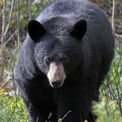 Maine voters reject ban on bear hunting practices for second time
