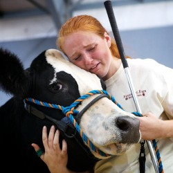 "Autumn Clair, 16, says goodbye to her steer Pedro at the 4-H auction at the Fryeburg Fair on Friday.  ""It's always hard,"" said Clair, who raises two or three steers every year."