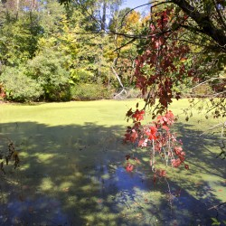 Vines and tree branches hang over an algae-covered pond beside the Old Narrow Gauge Volunteer Trail in Randolph in this October 2014 file photo.
