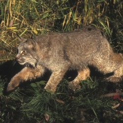 Canada lynx poses for photos in The County