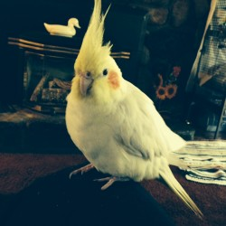 Golda, a pet cockatiel, was reunited with her owner, Bangor resident Jayne Branscombe, on Saturday morning. The bird had been found by Greg Canders about a mile from its home on Friday night.
