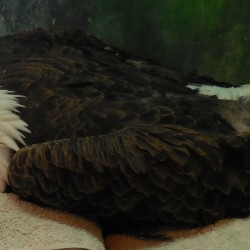Bald eagle rescued from CMP substation released following rehabilitation