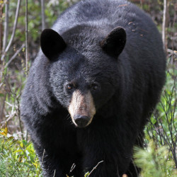 Bear attacks are rare. Bear-induced deaths even rarer. Don't let fears decide your vote