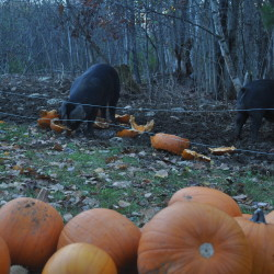 Disabled Saco boy's pumpkin patch destroyed