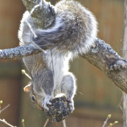 Flying squirrel's flight path to feeder not so smooth
