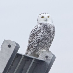 Lemmings fuel biggest snowy owl migration in 50 years