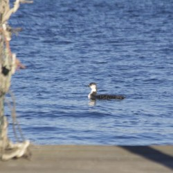 Gillys, mergansers make for a good outing