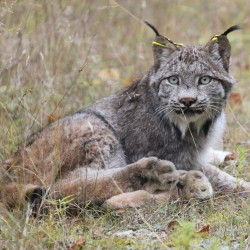 Lynx trapping decision hinges on 'take' permit