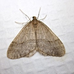 New invasive winter moth with disastrous potential found in coastal Maine