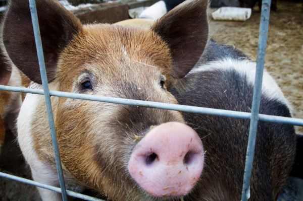 An organically raised pig peers through the fence at Treble Ridge Farm in Whitefield on Friday. Farm owner Rufus Percy said he thinks his operation could benefit from a credit union dedicated to small, organic Maine farms.