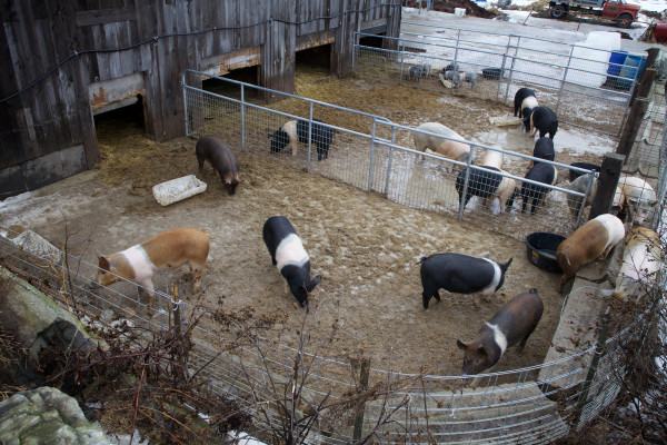Pigs browse their pens at Treble Ridge Farm in Whitefield on Friday. Farm owner Rufus Percy said he thinks his operation could benefit from a credit union dedicated to small, organic Maine farms.