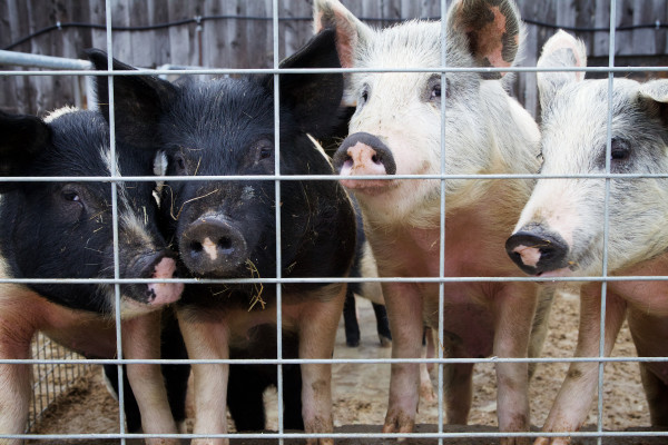 Organically raised, mixed-breed pigs look through a fence at Treble Ridge Farm in Whitefield on Friday. Farm owner Rufus Percy said he thinks his operation could benefit from a credit union dedicated to small, organic Maine farms.