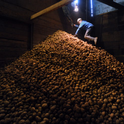 Jacob Daigle, 13, of Wallagrass helps in the Martin Farm potato house where the crop is stored until shipping in this September 2014 file photo.  The Martin family farm used to produce much more potatoes but the lack of demand effected them as well as the largest of farm in the region.  They will produce about 1200 barells of potatos this year.