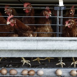 Senate panel debates living spaces for egg-layers