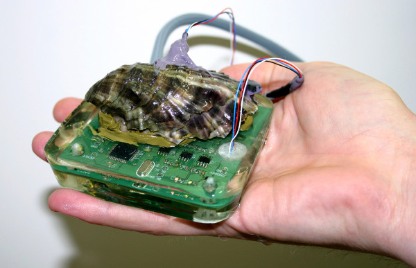 To learn more about how the herpes virus and warmer ocean water affects Pacific oysters, researchers at CSIRO, Australia's national science agency, and the University of Tasmania are using dental gum to attach heart-rate monitors to a half-dozen of the bivalves.