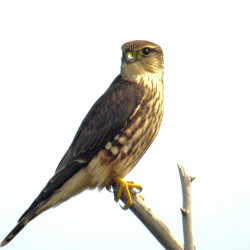 On I-95, they're all red-tailed hawks. Here's why